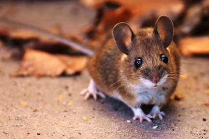 Michiganders reminded to take precautions around rodents