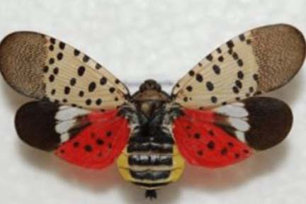Be on the lookout for spotted lanternfly